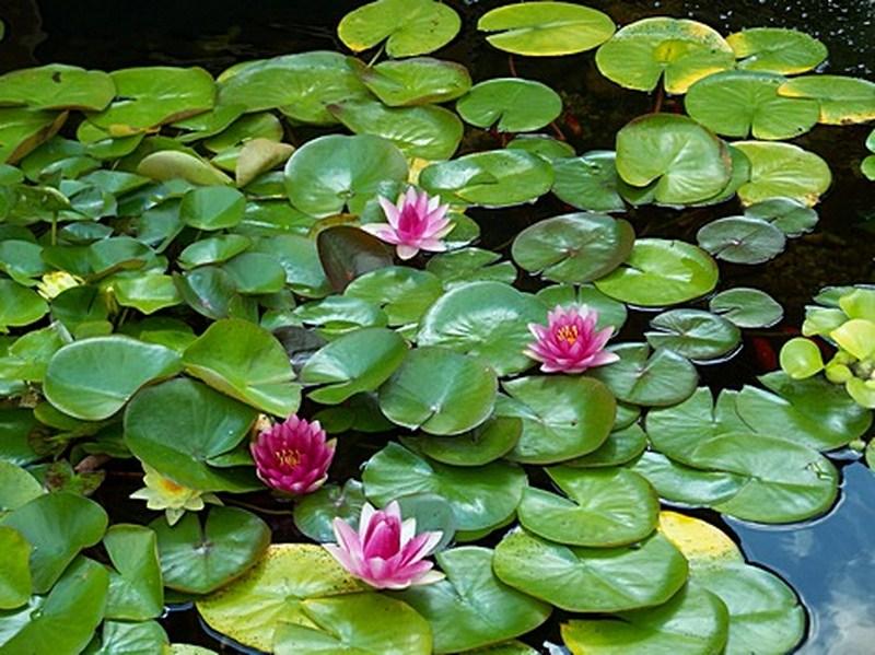 Pond plants hewlynn home garden center for Winter pond plants